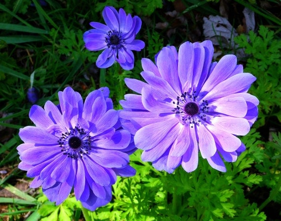 Anemone coronaria windflower 50 seeds great cut flower for Low maintenance perennials zone 4