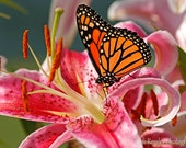 Monarch on Oriental Lily, 5x7 Fine Art Photography, Nature Photography, Butterfly Photography - CindiRessler