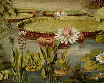 1897 Antique AQUATIC PLANTS print. Water Lilies. Botany. 119 years old gorgeous lithograph