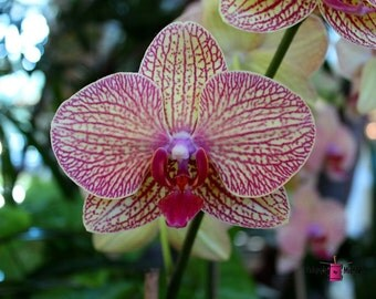 Peabody Orchid (FREE SHIPPING in the U.S. only)-- customized card, print or canvas