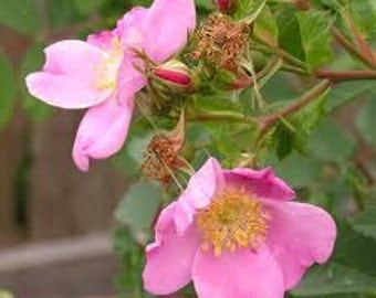 Natural Wild Rose or Tea Rose Perfume Oil, Rose Fragrance Oil, Rose Scent, Lotions and Potions