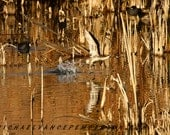 Pintail Duck Fine Art Print A Must Have For Your Waterfowl Lover.