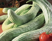 Heirloom, Armenian Cucumber, Incredible Flavor, Gardeners Favorite, 10 Seeds - CheapSeeds
