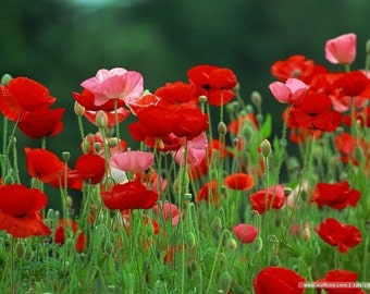 BULK 500 Seeds Poppy Red and Pink Poppy Flowers, Reseeds Itself