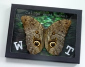 "Original Forest Giant Owl Butterfly Art in Black Riker Mount- ""WOOT"""