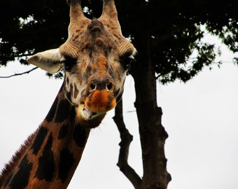 "Photograph ""Giraffe""- 8x10, Print Only"