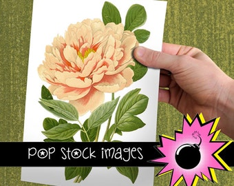 Clipart - Vintage Digital Clip Art - Clipart Flower Peony - Instant Download - Digital Clipart Peony Illustration - Peony Flower Clipart