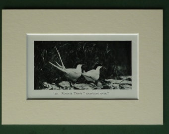 Original 1934 Roseate Terns Matted Print - Sea - Seabird - Seagull - Gull - Beach Picture - Ornithology - Black & White - Photograph - Bird