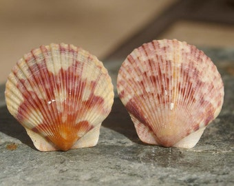 Scallop Shell Cabinet Knobs or Drawer Pulls - ocean, beach, shell