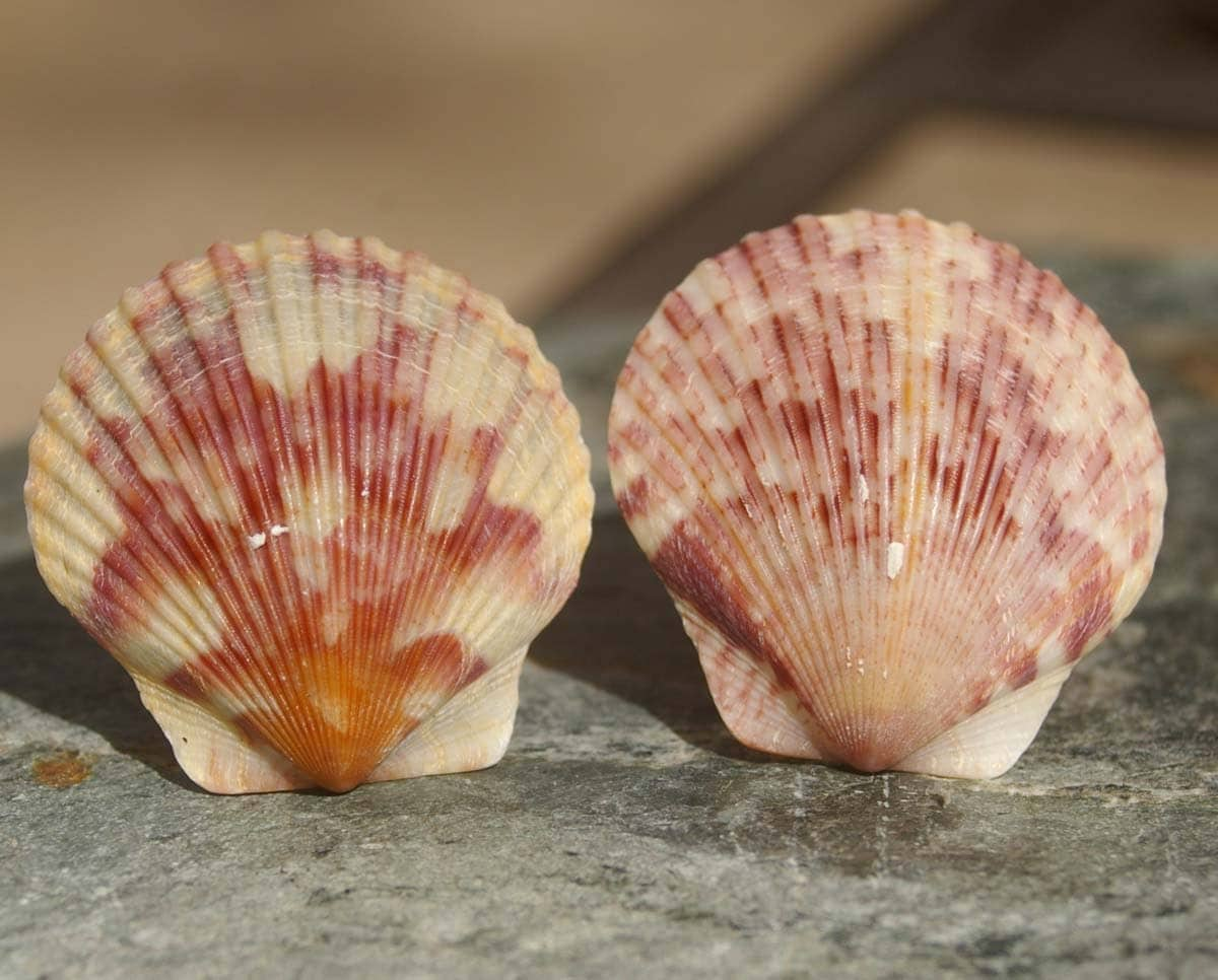 Scallop Shell Aphrodite Www Imgkid Com The Image Kid