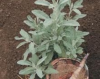 WHITE SAGE / sample pack 50 seeds/ powerful spirit plant that clears negative energy / wonderful plant for the garden or container