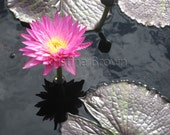 Nature Flower Photography - Pink Waterlily - Botanical Fine Art Print
