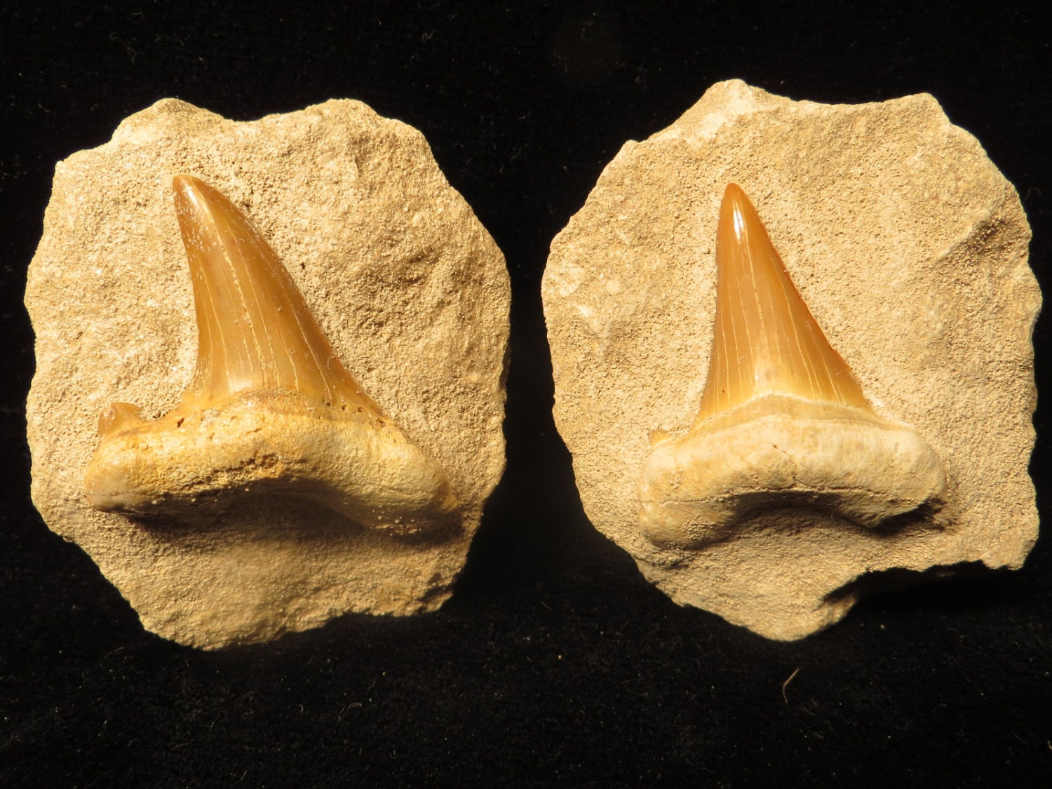 Two Prehistoric Shark Tooth Fossil By Oldgloriestatesale