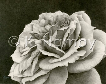 Rose Art Print of an Original Graphite Drawing