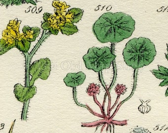 Antique Botanical Print of Wild Flowers, 1914 John Sowerby Saxifrage, Water Hemlock, Corn Parsley, Hand-Coloured Flower Plate (501 to 520)