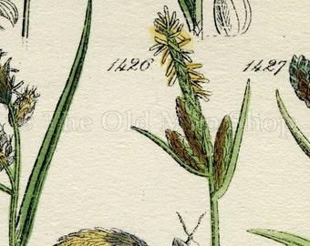 Antique Botanical Print of Wild Flowers, 1914 John Sowerby Rock Sedge, Bog Sedge, Hand-Coloured Flower Plate (1421 to 1440)