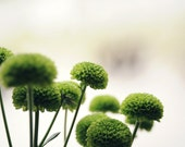 Hints of Spring - Green Balls of Flowers With Creamy Background Fine Art  Canadian Print
