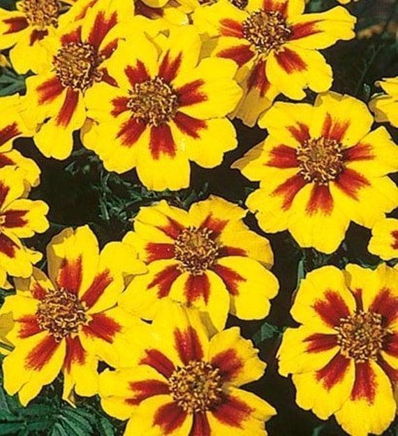 FRENCH DWARF MARIGOLD Flowers Dainty Marietta Seeds 100 PlusFrench Marigold Dwarf