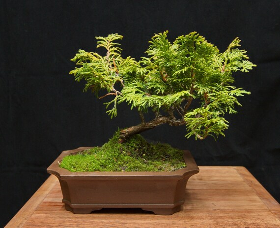 Hinoki Cypress Bonsai Tree Bonsai Plant Dwarf Hinoki Cypress