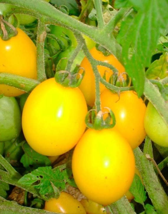 Fargo Yellow Pear heirloom tomato CERTIFIED ORGANIC seed 1