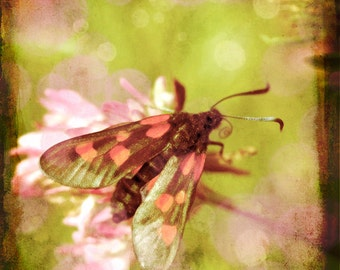 Nature photography, Burnet Moth, Insect, Clover, Meadow, Nature, Wall Decor.