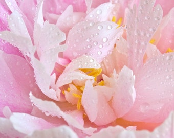 Nature photography, Peony, Flower, Pink petals, Water drops, Wall Art, Home Decor.