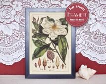 "Vintage illustration of Magnolia - framed fine art print, flower art, 8""x10"" ; 11""x14"", FREE SHIPPING - 99"