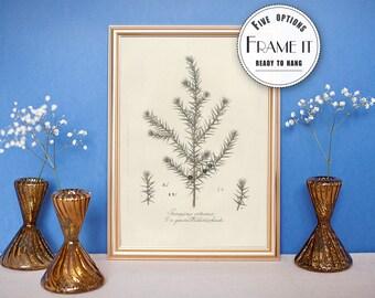 "Vintage illustration of Juniper  - framed fine art print, botanical art, 8""x10"" ; 11""x14"", FREE SHIPPING  049"