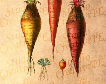 Vintage Root Vegetables Tea Stained Print