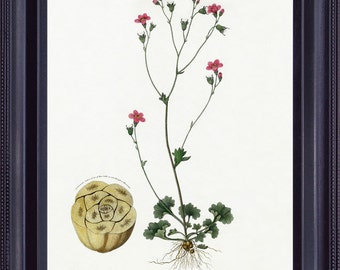 BOTANICAL 8x10 Vintage Giclee Print Antique Fine Art Painting Robert THORNTON Pink Small Flower Granulated Saxifrage Light Background BF0008