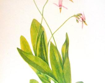 Flower Print - Shooting Star, Pyxie, Androsace, Primrose - 2 Sided - 1950's Vintage Botanical Illustration Book Page