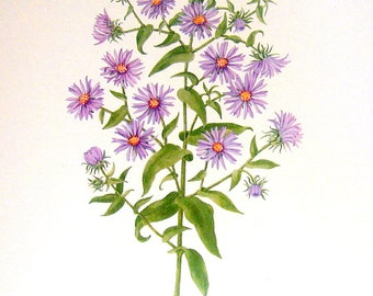 Flower Print - Yarrow, New England Aster - 2 Sided - 1950's Vintage Botanical Illustration Book Page