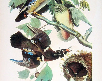 Audubon Birds Print - Virgina Rail, Wood Duck  - 1941 2 sided Book Page with Names and Descriptions