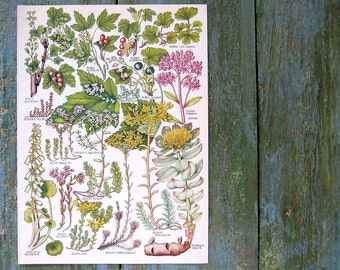 Botanical Print - Red Currant, Gooseberry, Pennywort - 1965 British Flowers Vintage Book Plate P34