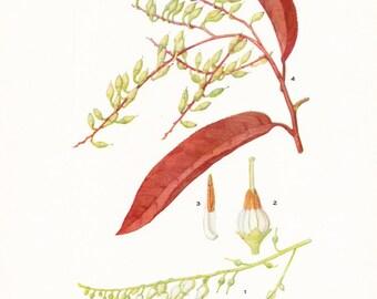 1919 Botany Print - Oxydendrum Arboreum - Sourwood - Vintage Antique Flower Art Illustration Book Plate for Framing