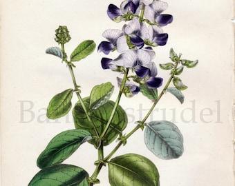 1847 Rare Vintage Botanical Print by Joseph Paxton - Crotalaria Verrucosa - Handcolored