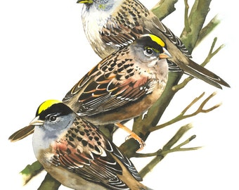 """Limited Edition GICLEE PRINT / """"Three Little Birds"""" / Watercolor Painting of Golden-crowned Sparrows"""