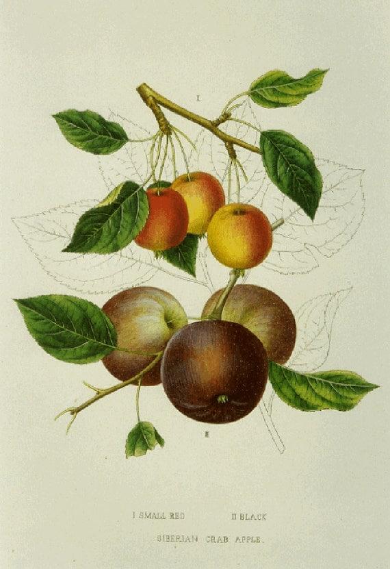 SALE Vintage Botanical Book Print by Prestele of Crab Apple