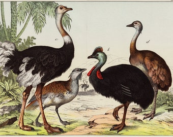 1886 Amazing RUNNIG BIRDS fine chromolithograph, Great Bustard, Cassowary, Ostrich, American Rhea, 126 years old gorgeous largue print