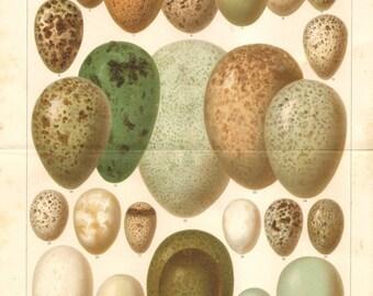 1894 Eggs of European Birds II. Common Quail, Black Grouse, Western Capercaillie, Eurasian Oystercatcher, Great Bittern Antique Lithograph