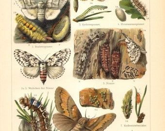 1903 Pine Beauty, Oak Leafroller and other Moths Original Antique Chromolithograph to Frame