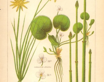 1893 Yellow Flatsedge, Frogbit, Common Spike-rush Original Antique Chromolithograph to Frame