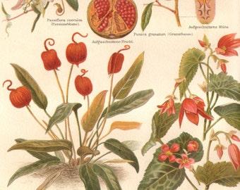 1890 Indoor Flowers, Bolivian Begonia, Flamingo Flower, Passion Flower, Pomegranate, Original Antique Chromolithograph to Frame
