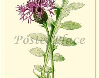 Larger Knapweed ART CARD - Vintage Botanical print reproduction