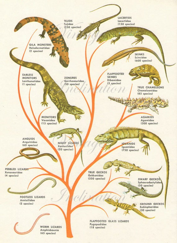 Lizards Family Tree Reptile Species 1950s Original Vintage