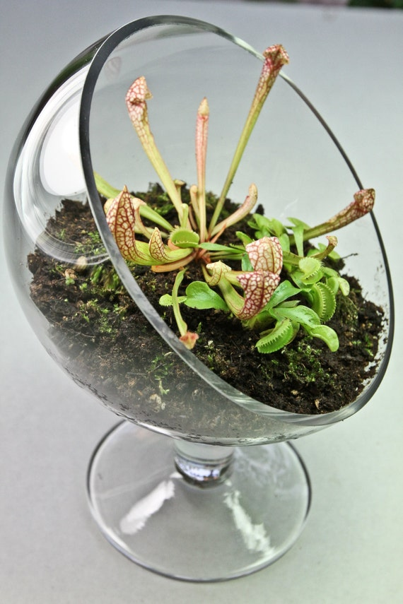 carnivorous plant terrarium 3 plants with elegant sloped. Black Bedroom Furniture Sets. Home Design Ideas
