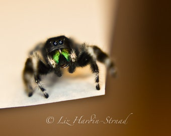 Awesome Jumping Spider Fine Art Photo Print 8x10 Spider Picture Spider Art