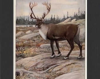 Caribou Reindeer Print 1916 Bookplate Print by Louis Agassiz Fuertes Vintage Mounted with Mat Caribou Print Reindeer Picture Caribou Picture