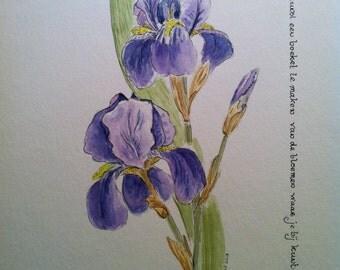 Iris - watercolor