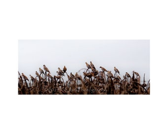 Roost 11x14 Country Home Rustic Style Western Fine Art Photography White Wing Doves Landscape Neutral color Art prairie fields Decor